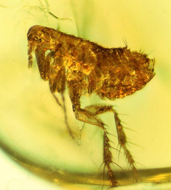 As pulgas são borboletas parasitas, revela a análise genética
