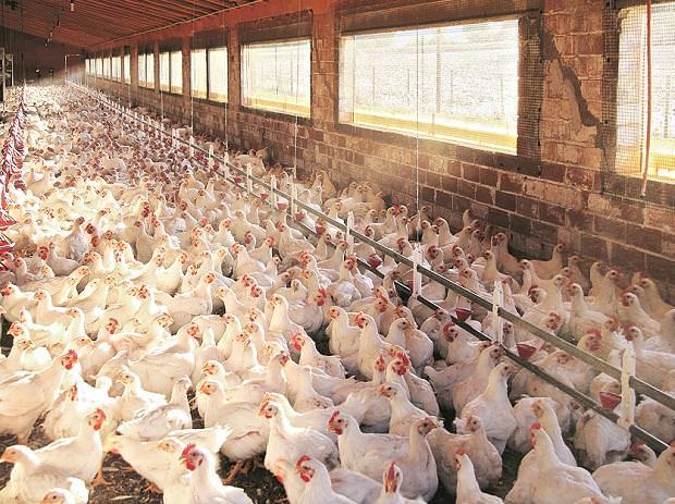 Gripe aviária em aves confirmada em mais alguns lugares em Maha, MP, Chhattisgarh