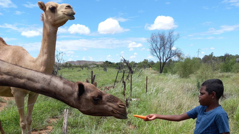 De influenciadores a currículos de classe, esses camelos do outback fazem sucesso entre os habitantes locais e turistas