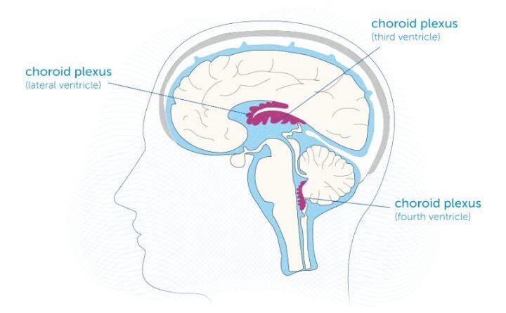 Um 'atlas' do plexo coróide do cérebro ao longo da vida
