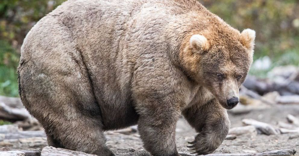 Fat Bear Week é o único esporte que me interessa agora